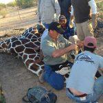Giraffe Capture In Mexico