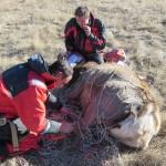 Elk Capture New Mexico.