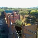 Eland Capture Namibia.