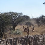 Red Hartebeest Entering Capture Coral
