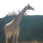 Giraffe in Capture Coral in Swaziland