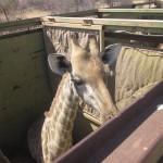 Giraffe Mass Capture South Africa