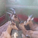 Red Hartebeest in Transport Vehicle