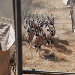 Gemsbuck Capture Namibia