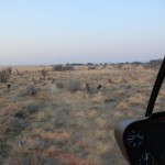 Herding Black Wildebeest to Boma