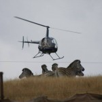 Zebra Capture South Africa