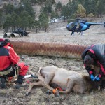 Collaring Elk New Mexico