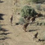 Herding Roan Antelope to Capture Boma