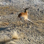 Red Lechwe Capture Namibia