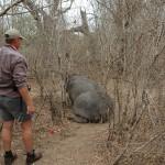 Hippo Capture Swaziland