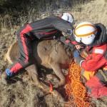 Elk Capture New Mexico