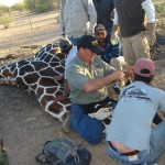 Reticulated Giraffe Capture Mexico