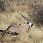 Gemsbuck Capture Namibia