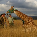 Giraffe Capture South Africa