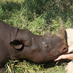 Black Rhino Capture Swaziland