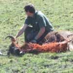 Black Wildebeest South Africa