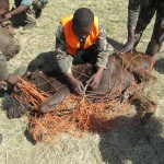 Black Wildebeest Netgun Capture South Africa