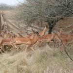 Impala Capture